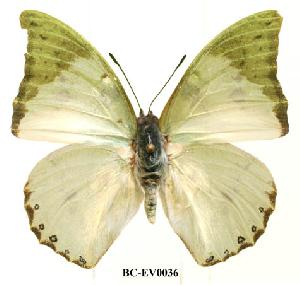 (Charaxes montis - BC-EV0036)  @13 [ ] Unspecified (default): All Rights Reserved  Unspecified Unspecified