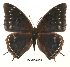 (Charaxes etheocles kivu01 - BC-EV0070)  @14 [ ] Unspecified (default): All Rights Reserved  Unspecified Unspecified