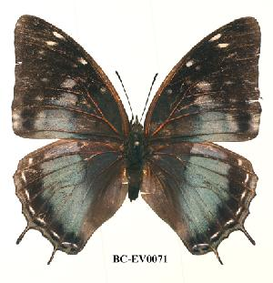 (Charaxes cedreatis cuvet01 - BC-EV0071)  @13 [ ] Unspecified (default): All Rights Reserved  Unspecified Unspecified
