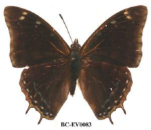 (Charaxes fionae02 - BC-EV0083)  @14 [ ] Unspecified (default): All Rights Reserved  Unspecified Unspecified