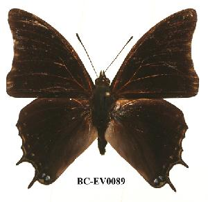 (Charaxes sidamo - BC-EV0089)  @14 [ ] Unspecified (default): All Rights Reserved  Unspecified Unspecified