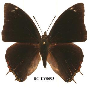 (Charaxes gerdae - BC-EV0093)  @14 [ ] Unspecified (default): All Rights Reserved  Unspecified Unspecified