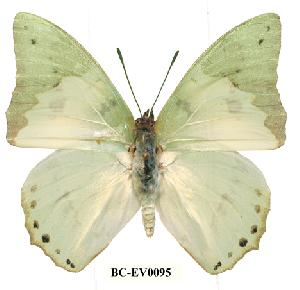 (Charaxes eupale - BC-EV0095)  @14 [ ] Unspecified (default): All Rights Reserved  Unspecified Unspecified