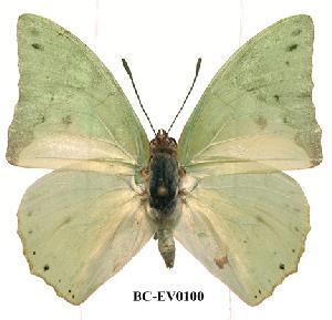 (Charaxes eupale - BC-EV0100)  @14 [ ] Unspecified (default): All Rights Reserved  Unspecified Unspecified