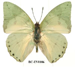 (Charaxes eupale - BC-EV0106)  @14 [ ] Unspecified (default): All Rights Reserved  Unspecified Unspecified