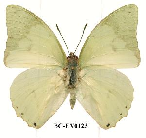 (Charaxes minor karinae - BC-EV0123)  @14 [ ] Unspecified (default): All Rights Reserved  Unspecified Unspecified