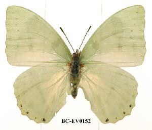 (Charaxes minor minor - BC-EV0152)  @14 [ ] Unspecified (default): All Rights Reserved  Unspecified Unspecified