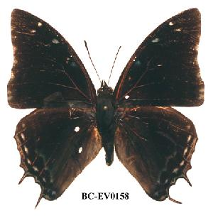 (Charaxes berkleyi - BC-EV0158)  @13 [ ] Unspecified (default): All Rights Reserved  Unspecified Unspecified