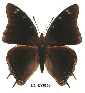 (Charaxes ethalion - BC-EV0163)  @14 [ ] Unspecified (default): All Rights Reserved  Unspecified Unspecified