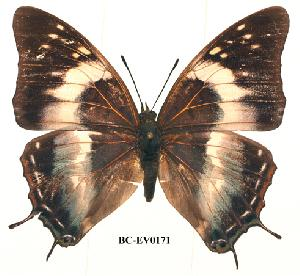 (Charaxes kheili - BC-EV0171)  @14 [ ] Unspecified (default): All Rights Reserved  Unspecified Unspecified
