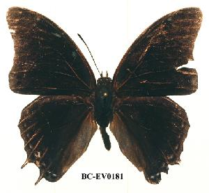 (Charaxes loandae - BC-EV0181)  @13 [ ] Unspecified (default): All Rights Reserved  Unspecified Unspecified