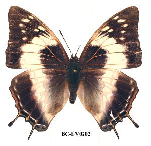 (Charaxes ethalion littoralis - BC-EV0202)  @14 [ ] Unspecified (default): All Rights Reserved  Unspecified Unspecified