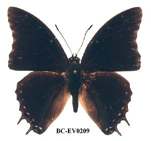 (Charaxes etheocles gui01 - BC-EV0209)  @14 [ ] Unspecified (default): All Rights Reserved  Unspecified Unspecified
