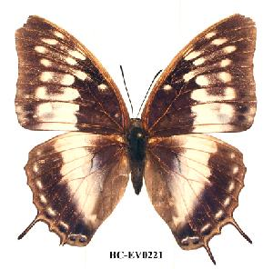 (Charaxes etheocles ang01 - BC-EV0221)  @13 [ ] Unspecified (default): All Rights Reserved  Unspecified Unspecified