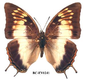 (Charaxes ethalion nyanzae - BC-EV0241)  @14 [ ] Unspecified (default): All Rights Reserved  Unspecified Unspecified