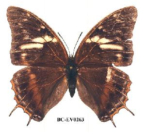 (Charaxes chepulungu2 - BC-EV0263)  @13 [ ] Unspecified (default): All Rights Reserved  Unspecified Unspecified