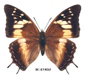 (Charaxes cedreatis gui02 - BC-EV0265)  @14 [ ] Unspecified (default): All Rights Reserved  Unspecified Unspecified