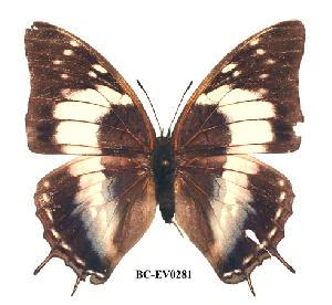 (Charaxes turlini - BC-EV0281)  @13 [ ] Unspecified (default): All Rights Reserved  Unspecified Unspecified