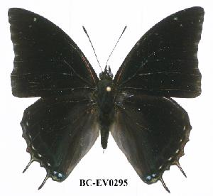 (Charaxes nyikensis - BC-EV0295)  @14 [ ] Unspecified (default): All Rights Reserved  Unspecified Unspecified