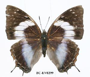 (Charaxes ethalion - BC-EV0299)  @14 [ ] Unspecified (default): All Rights Reserved  Unspecified Unspecified