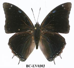 (Charaxes jolyana - BC-EV0303)  @14 [ ] Unspecified (default): All Rights Reserved  Unspecified Unspecified