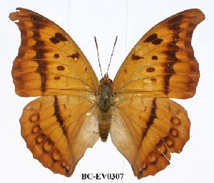 (Charaxes nichetes leoninus - BC-EV0307)  @13 [ ] Unspecified (default): All Rights Reserved  Unspecified Unspecified
