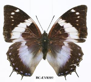 (Charaxes cithaeron nyasae - BC-EV0309)  @14 [ ] Unspecified (default): All Rights Reserved  Unspecified Unspecified