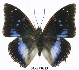 (Charaxes xiphares ludovici - BC-EV0313)  @14 [ ] Unspecified (default): All Rights Reserved  Unspecified Unspecified