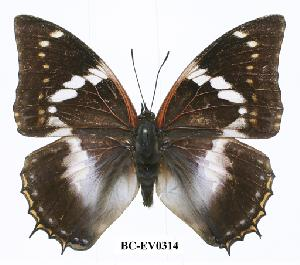 (Charaxes xiphares ludovici - BC-EV0314)  @14 [ ] Unspecified (default): All Rights Reserved  Unspecified Unspecified
