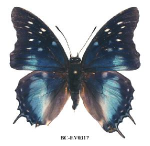 (Charaxes blandae - BC-EV0317)  @13 [ ] Unspecified (default): All Rights Reserved  Unspecified Unspecified