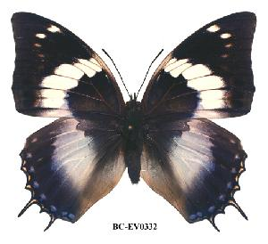 (Charaxes cithaeron kennethi - BC-EV0332)  @14 [ ] Unspecified (default): All Rights Reserved  Unspecified Unspecified