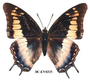 (Charaxes viola - BC-EV0335)  @14 [ ] Unspecified (default): All Rights Reserved  Unspecified Unspecified