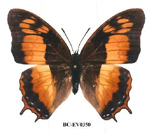 (Charaxes anticlea adusta - BC-EV0350)  @14 [ ] Unspecified (default): All Rights Reserved  Unspecified Unspecified