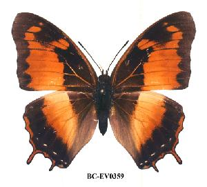 (Charaxes anticlea - BC-EV0359)  @14 [ ] Unspecified (default): All Rights Reserved  Unspecified Unspecified