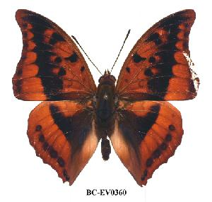 (Charaxes nichetes leopardinus - BC-EV0360)  @13 [ ] Unspecified (default): All Rights Reserved  Unspecified Unspecified