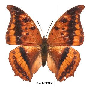 (Charaxes nichetes leopardinus - BC-EV0362)  @13 [ ] Unspecified (default): All Rights Reserved  Unspecified Unspecified