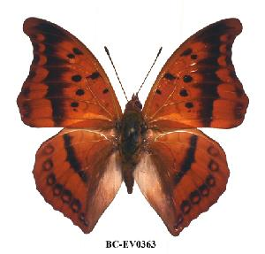 (Charaxes nichetes pantherinus - BC-EV0363)  @14 [ ] Unspecified (default): All Rights Reserved  Unspecified Unspecified