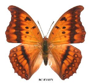 (Charaxes nichetes pantherinus - BC-EV0371)  @14 [ ] Unspecified (default): All Rights Reserved  Unspecified Unspecified