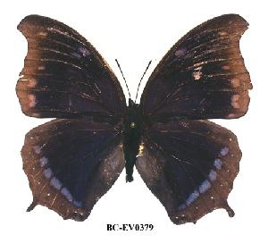 (Charaxes lycurgus bernardiana - BC-EV0379)  @14 [ ] Unspecified (default): All Rights Reserved  Unspecified Unspecified