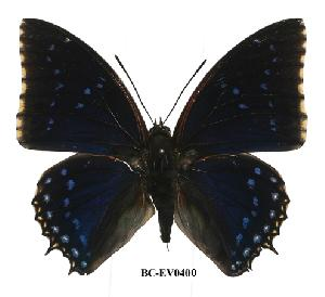 (Charaxes tiridates - BC-EV0400)  @14 [ ] Unspecified (default): All Rights Reserved  Unspecified Unspecified