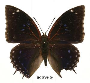 (Charaxes mixtus mixtus - BC-EV0409)  @13 [ ] Unspecified (default): All Rights Reserved  Unspecified Unspecified