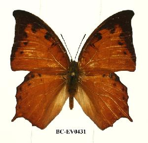 (Charaxes paphianus paphianus - BC-EV0431)  @14 [ ] Unspecified (default): All Rights Reserved  Unspecified Unspecified