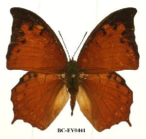 (Charaxes paphianus paphianus - BC-EV0441)  @14 [ ] Unspecified (default): All Rights Reserved  Unspecified Unspecified
