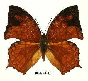 (Charaxes pleione congoensis - BC-EV0442)  @14 [ ] Unspecified (default): All Rights Reserved  Unspecified Unspecified