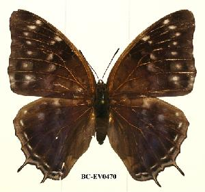 (Charaxes etheocles con03 - BC-EV0470)  @14 [ ] Unspecified (default): All Rights Reserved  Unspecified Unspecified
