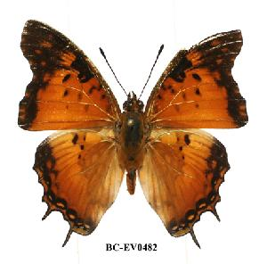 (Charaxes jahlusa pembana - BC-EV0482)  @13 [ ] Unspecified (default): All Rights Reserved  Unspecified Unspecified