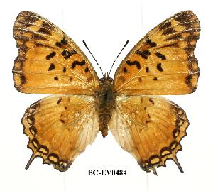 (Charaxes jahlusa pembana - BC-EV0484)  @13 [ ] Unspecified (default): All Rights Reserved  Unspecified Unspecified