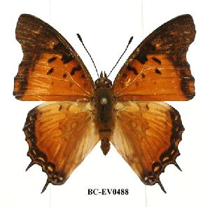 (Charaxes jahlusa mafiae - BC-EV0488)  @14 [ ] Unspecified (default): All Rights Reserved  Unspecified Unspecified