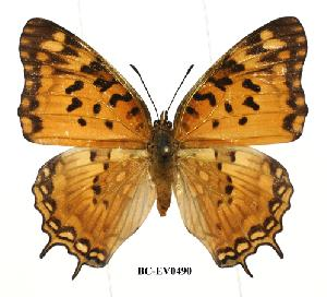 (Charaxes jahlusa - BC-EV0490)  @14 [ ] Unspecified (default): All Rights Reserved  Unspecified Unspecified