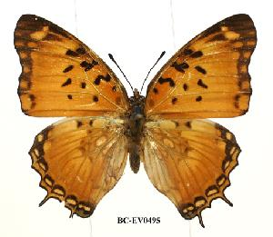 (Charaxes jahlusa argynides - BC-EV0495)  @14 [ ] Unspecified (default): All Rights Reserved  Unspecified Unspecified